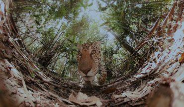 a lion walks in the wilderness