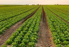 a farm field full of pepper plants
